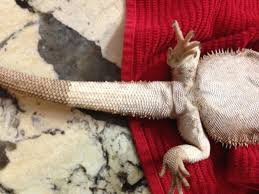 Bearded Dragon Shedding A Lot by New To Site Need Advice On Skin Issues U2022 Bearded Dragon Org
