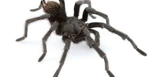 New Tarantula Is Named After Music Legend Johnny Cash Does Anyone Else Like Cars Tarantula Forum The Setup That All The Tech Obssed Nerds Are Using Shark Wheels High Quality Rc Quadcopter Upper Body Cover Shell Accessory Yizhan Pin By Chris On Trucks Pinterest Rigs Peterbilt Indiana Man Warns Locals To Beware Of Giant Spiders After Spotting Dead Thejournalie Victor Ehart Youtube Kids Tour Mexican Stock Photos Images Alamy Wall Vinyl Decal Sticker Animals Insect Spider Art Deepfried Tarantula Allegations Deliciousness