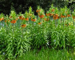 fritillaria imperialis bulbs orange crown imperial