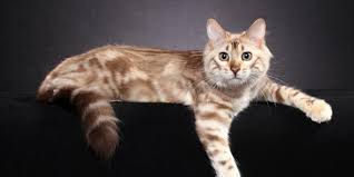 haired cats haired bengal information overview bengal cats