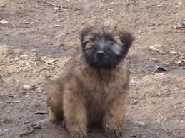 soft coated wheaten terrier puppies in virginia