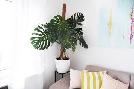 monstera festbinden so mach ich meine pflanze hübsch