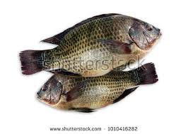 Tilapia Fresh Nile Fish On White Background