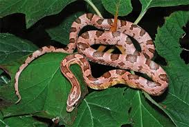 Snake Skin Shedding Frequency by How To Choose And Care For A Corn Snake