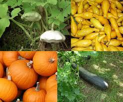 Types Of Pumpkins And Squash by Cucurbita Pepo Wikipedia