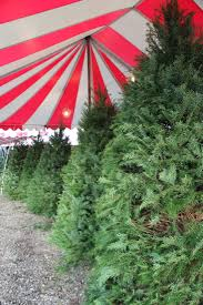 Nordmann Fir Christmas Trees Wholesale by Christmas Trees Enchanted Country Pumpkins And Trees