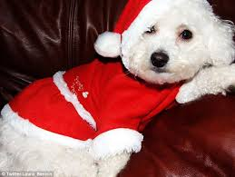 Do Jackie Bichon Shed by The Tiny Dog With The Big Clothes Habit With Her 20 000 Designer