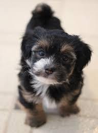 Welsh Springer Spaniel Shedding by Sproodle English Springer Spaniel Mix Puppy Dog Cute U003c3