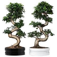 pot bonsai grande taille ficus microcarpa ginseng plante avec vase ikea