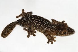 Crested Gecko Shedding Behavior by Leaf Tailed Gecko Species Genus Uroplatus Reptifiles