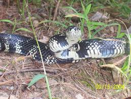 Non-Venomous Snakes Of Georgia Pictures And Descriptions Backyard Snakes Effective Wildlife Solutions Snakes And Beyond 65 Best Know Them Images On Pinterest Georgia Of Louisiana Department Fisheries Southern Hognose Snake Florida Texas Archives What Is That 46 The States Slithery Species Nolacom Scarlet Kingsnake Cottonmouth Eastern Living Alongside Idenfication Challenge The Garden Or Garter My Species List New Engdatlantic