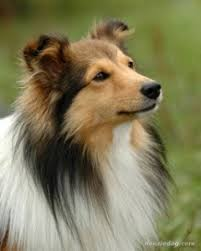 Sheltie Shedding Puppy Coat by Shetland Sheepdog Dog Breed Remarkable Dogs