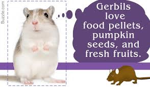 Can Guinea Pigs Eat Pumpkin Seeds by What Should And Should Not Be Fed To A Pet Gerbil