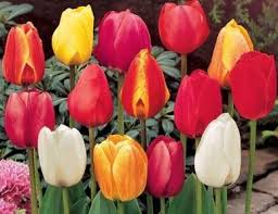 tulip bulbs darwin hybrid mixed colors collection