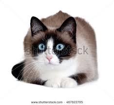 snowshoe cat snowshoe cat stock images royalty free images vectors