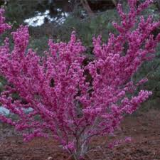 Judastræ Cercis Chinensis Avondale 100180 Cm Future Garden