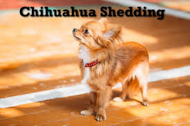 Do All Dogs Shed Fur by Dealing With A Shedding Chihuahua
