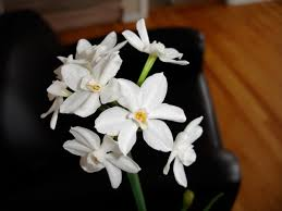 narscissus paperwhite bulbs how to grow paperwhites in the garden