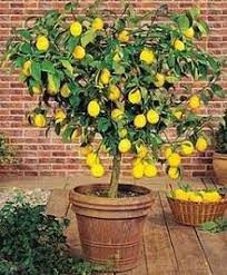meyers lemon easy to grow in your kitchen or patio the