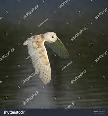 Common Barn Owl Known Barn Owl Stock Photo 552016159 - Shutterstock Common Barn Owl 4 Mounths In Front Of A White Background Stock Royalty Free Images Image 23603549 Known Photo 552016159 Shutterstock Owl Wikipedia 644550523 Mdc Discover Nature Tyto Alba Perched On A Falconers Arm At Daun Audubon Field Guide Mounths Lifeonwhite 10867839 Barnowl 1861 Best Owls Snowy Saw Whets Images Pinterest Photos Dreamstime
