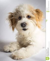 Best Non Shedding Small Dogs by 100 Non Shedding Small Dogs Mixed Breeds 13 Adorably Cute
