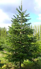 10ft Christmas Tree Canada by Tree Descriptions And Pricing