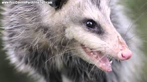 Pest Control Perth - Possum Removal - YouTube All About Opossums Wildlife Rescue And Rehabilitation Easy Ways To Get Rid Of Possums Wikihow Animals Articles Gardening Know How 4 Deter From Your Garden Possum Hashtag On Twitter Removal Living In Sydney Opossum Removal Services South Florida Nebraska Rehab Inc Help Nuisance Repel Gel Barrier Sealant For Squirrels And Raccoons To Of Terminix