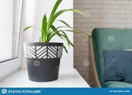eine grünpflanze in einem schwarzweiss blumentopf steht auf