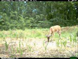 Does Deer Shed Their Antlers by Whitetail Bucks In Summer Velvet How Big Will His Antlers Be