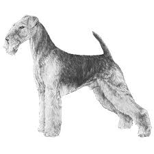 Airedale Terrier Non Shedding by Airedale Terrier Dog Breed Information American Kennel Club