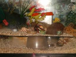 Do Hermit Crabs Shed Their Whole Body by Hermit Crab Archives Page 11 Of 21 The Crabstreet Journal