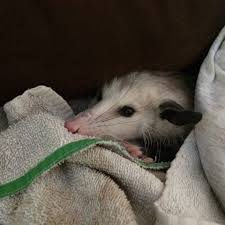 This Possum Just Loves His Towel. It's His Favorite Place To Nap ... All About Opossums Wildlife Rescue And Rehabilitation Easy Ways To Get Rid Of Possums Wikihow Animals Articles Gardening Know How 4 Deter From Your Garden Possum Hashtag On Twitter Removal Living In Sydney Opossum Removal Services South Florida Nebraska Rehab Inc Help Nuisance Repel Gel Barrier Sealant For Squirrels And Raccoons To Of Terminix