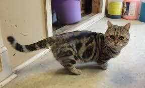 munchkins cats bayshore kennel and farm farm munchkin cats