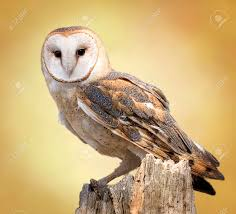 A Barn Owl Perched On A Dead Tree Stump Barn Owls Are Silent ... Barn Owl Perching On A Tree Stump Facing Forward Stock Photo The Owls Of Australia Australian Geographic Audubon Field Guide Beautiful Perched 275234486 Barred Owl Vs Barn Hollybeth Organics Luxury Skin Care Why You Want Buddies Coast News Group Sleeping By Day Picture And Sitting Venezuela 77669470 Shutterstock Rescue Building Awareness Providing Escapes And Photography Owls Owlets At Charlecote Park Barnaby The Ohio Wildlife Center