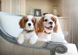 Non Shedding Dogs Small To Medium by 12 Couch Potato Dog Breeds