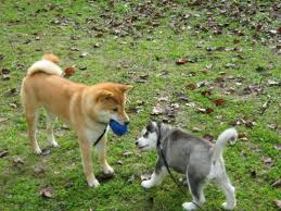 Do Shibas Shed A Lot by Pack Leader To An Aggressive Dog