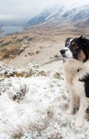 Do Blue Heeler Border Collies Shed by Border Collie Dog Breed Information Pictures Characteristics