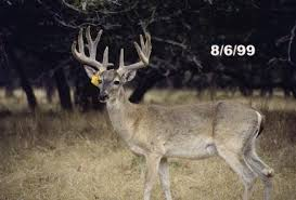 When Do Whitetails Shed Their Antlers by White Tailed Deer Stages Of Antler Development