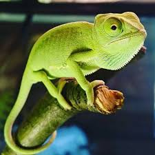 Basking Lamp For Chameleon by 3 Ways To Take Care Of A Chameleon Wikihow