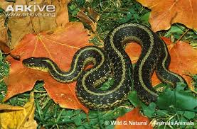 Common Garter Snake Videos Photos And Facts