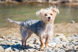 Morkies Do They Shed by Morkie Breed Information Characteristics U0026 Heath Problems
