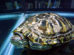 Turtle Shell Not Shedding by Can You Identify This Shell Problem Big Pond Turtle Forum