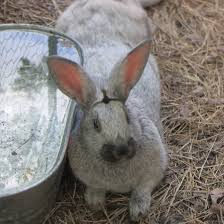 Can Rabbits Eat Pumpkin Seeds by Death On The Urban Homestead Urbanfarmu