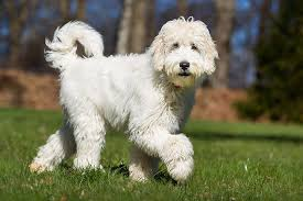 Do Wheaten Terriers Shed by Medium Sized Dogs That Don U0027t Shed Cuteness