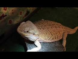 Bearded Dragon Heat Lamp Went Out by How To Keep Your Bearded Dragon Warm In An Emergency Youtube