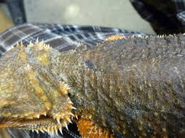 Bearded Dragon Shedding In Patches by Shedding Problems U2022 Bearded Dragon Org