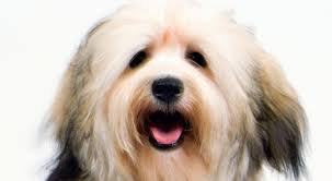 Non Shedding Dog Breeds Small by Havanese Dog Breed Information American Kennel Club
