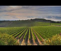 Wallpaper Sunlight Landscape Nature Wine Green Farm Geometry HDR Grapes Summer Lines Siena Tuscany Vineyard Light Tree Colors Flower