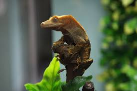 Crested Gecko Shedding Behavior by Getting Started With Your Crested Gecko Or Gargoyle Gecko
