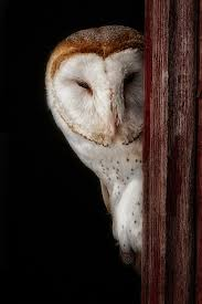 The Wisdom Of Night's Silent Flyers « Northwest Quarterly White Screech Owl Illustration Lachina Bbc Two Autumnwatch Sleepy Barn Owl Yoga Bird Feeder Feast And Barn Wikipedia Attractions In Cornwall Sanctuary Wishart Studios Red Eastern By Ryangallagherart On Deviantart Owlingcom Biology Birding Buddies 2000 Best 2 Especially Images Pinterest Screeching Youtube